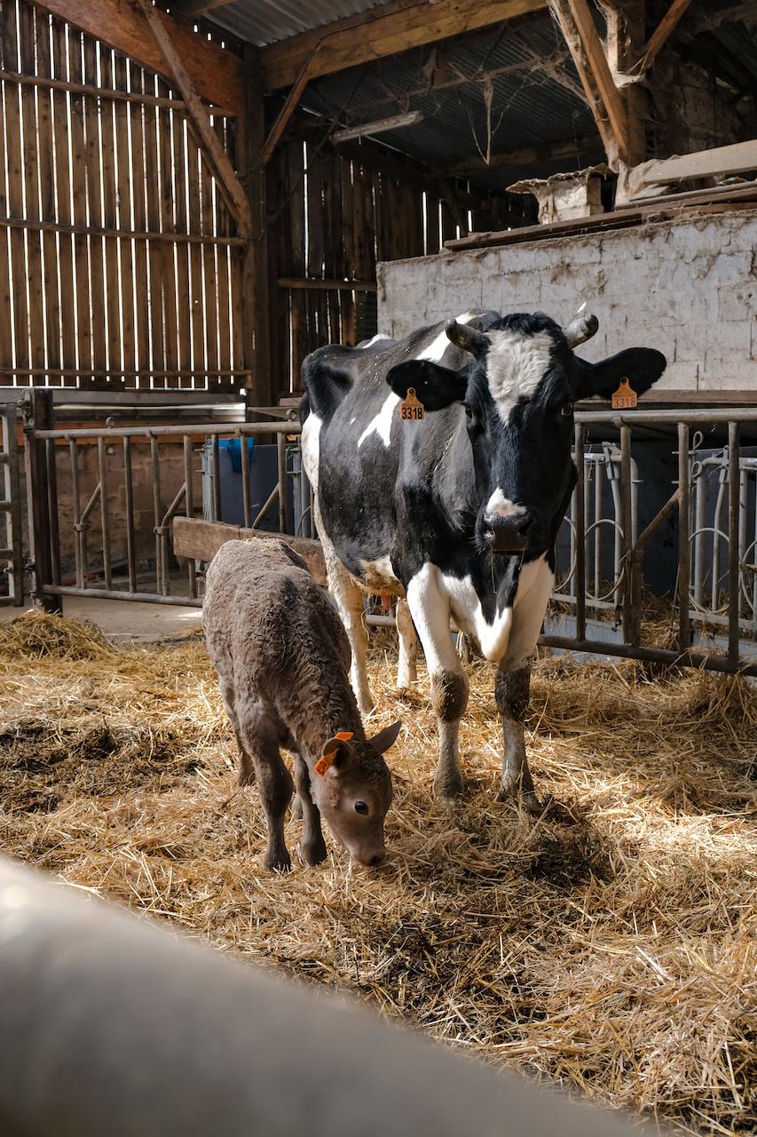 Veau ferme Nort-sur-Erdre